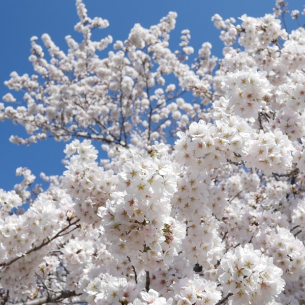 平成27年  氷川お花見ランチ